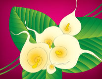 Calla lily floral background. White Calla lily floral design on purple background Royalty Free Stock Image