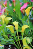 Calla lily flower blossom Royalty Free Stock Photography