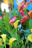 Calla lily flower blossom Royalty Free Stock Images