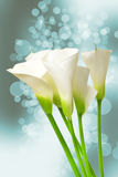 Calla lily Royalty Free Stock Photography