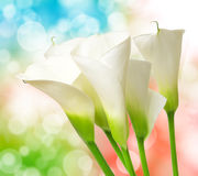 Calla lily Royalty Free Stock Image
