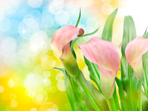 Calla lily flower Royalty Free Stock Image