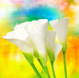 Calla lily flower close up Stock Images