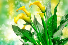 Calla lily Royalty Free Stock Photo