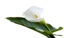 Calla lily flower stock photos