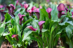 Calla Lily flower and green leaf in garden at sunny summer or spring day for postcard beauty decoration and agriculture design.  stock photos