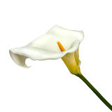 Calla lily flower isolated on a white background. White calla lily isolated on a white background Stock Photos