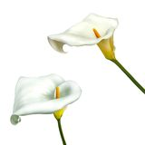 Calla lily flower isolated on a white background. White calla lily isolated on a white background Stock Image