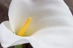 Calla lily flower macro. Zantedeschia Royalty Free Stock Photo