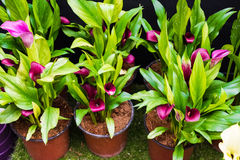 Calla Lily Flower. Pink Calla Lily Flower in the garden Stock Photo