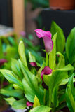 Calla Lily Flower. Purple Calla Lily Flower in the garden Royalty Free Stock Images
