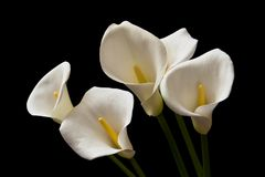 Calla Lily flowers. Calla Lily on a black background Royalty Free Stock Photo