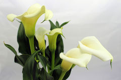 Calla lily flowers Royalty Free Stock Photos