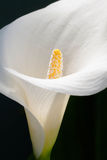Calla Lily Full of Pollen Royalty Free Stock Images