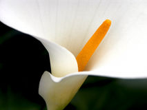 Calla Lily Fullframe Royalty Free Stock Image