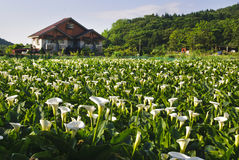 Calla lily garden. With beautiful rural scenery Stock Image