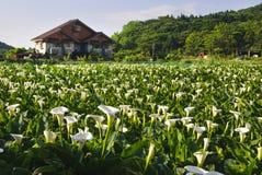 Calla lily garden Stock Image