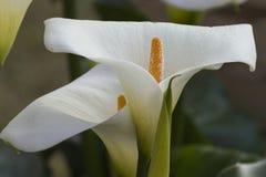Calla lily in the garden Stock Photos