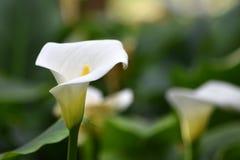 Calla lily. Stock Photo