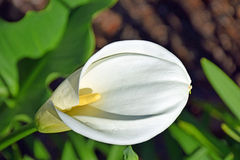 Calla Lily. Image shows a Calla Lily, Zantedeschia sp, a species in the family Araceae, native to southern Africa in Lesotho, South Africa, and Swaziland stock images