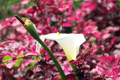 Calla lily and Iresine herbstii in a park on Madeira. These high-contrast arrangement of a white Calla Lily, Zantedeschia aethiopica, and the deep-purple Iresine Stock Photography