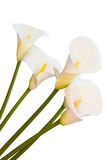 Calla lily isolated royalty free stock image