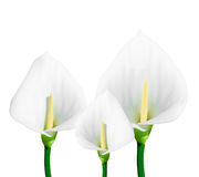 Calla lily isolated. On white background Stock Images