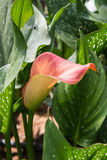 Calla lily with many leaves as floral background. Dark tones Royalty Free Stock Photos