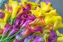 Calla lily Royalty Free Stock Photos