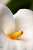 Calla lily 1 Royalty Free Stock Images