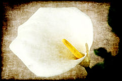Calla Lily Painting  Stock Image