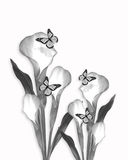 Calla lily pencil sketch drawing. Calla lily and butterflies pencil sketch drawing Royalty Free Stock Photo