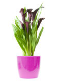 Calla lily plant. Dark purple (black) calla lily plant in bright purple pot isolated on white background Stock Image