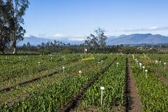 Calla lily plantation. In Guayllabamba's farm Stock Photo
