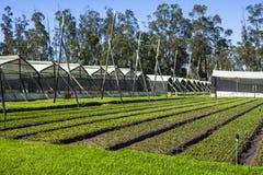 Calla lily plantation. In Guayllabamba's farm Stock Photos