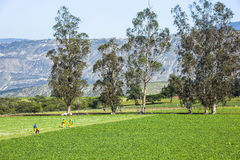 Calla lily plantation. In Guayllabamba's farm Royalty Free Stock Image