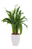 Calla lily in a pot Stock Photography