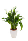 Calla lily in a pot Stock Image