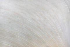 Calla Lily. Texture of a Calla Lily spathe Stock Photos