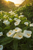 Calla Lily Valley Royalty Free Stock Photo