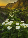 Calla Lily Valley SUnset Royalty Free Stock Image