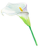 Calla Lily. For wedding invitations and holiday cards. Watercolor. Stock Image