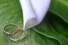 Calla lily and wedding rings. White  calla lily and wedding rings on green leaves close up Royalty Free Stock Images
