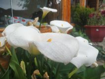Calla lily. The white flowers symbolize happiness, and the faint glass windows can be seen faintly. The whole picture is incomparably harmonious stock photo