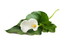 Calla lily. White calla lily with leaf isolated on white Royalty Free Stock Images