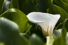 Calla lily. A white calla lily with many leave Stock Photography