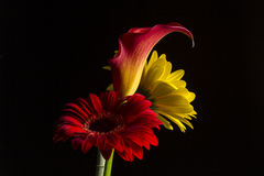 Free Calla Lily With One Red And One Yellow Gerber Daisy Royalty Free Stock Photos - 54471328