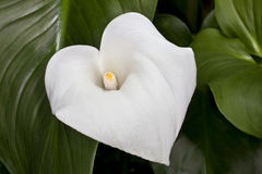 Calla-lily (Zantedeschia aethiopica) Royalty Free Stock Photos