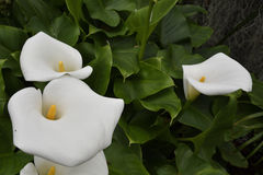 Calla lily Zantedeschia. Or Arum lily bloom, picture from Tenerife Spain Stock Photography