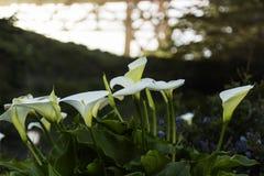 Calla Lilys на мосте золотого строба Стоковые Фотографии RF